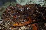 Stonefish (Synanceia verrucosa)